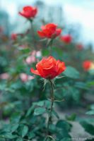 Roses by Lonely-black-cat