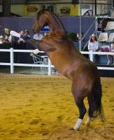 STOCK - 2014 Total Equine Expo-115 by fillyrox