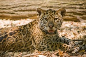 Jaguar Cub Portrait by darkcalypso