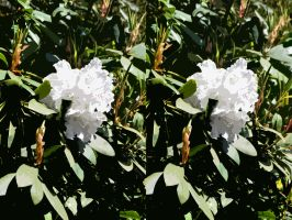 Stereo White Rhododendron Flower After Matisse by aegiandyad