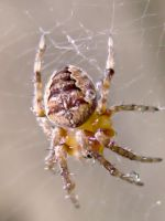 Orb Spider by iriscup