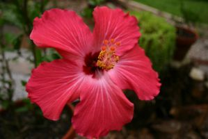 Hibiscus Flower 0001 by poeticthnkr