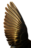 Pine Siskin Light Wing 01 by Treeclimber-Stock