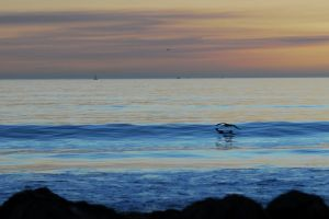 Wave Skimming Pelican by Austinii