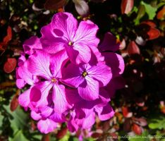 Pink flower by Anne-Cathy