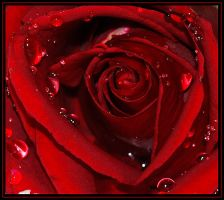 red roses-3 by Tulgay