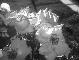 Black and White Pink Flowers by flamingpig
