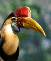 Red Knobbed Hornbill by dkbarto