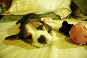 Bella the Beagle by peregrination