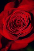 .roses are red by VictorianKiss