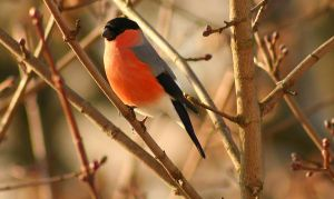Eurasian Bullfinch 3 by EricReynolds