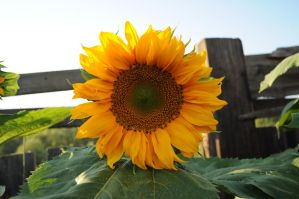 Sunflower 2 by Tumana-stock