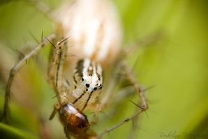Lynx Spider and Ant by ironmanbr