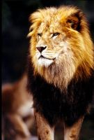 Lion 10 by Art-Photo