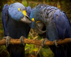 Parrot Love by rael87a