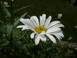 Daisy by shaylee-2