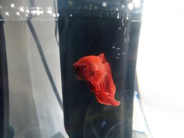 My Bettas: Little Red by InkTheEchidna