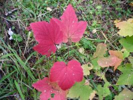 Autumn leaves, currant by Garr1971
