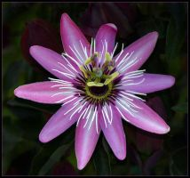 PASSION FLOWER 10 by THOM-B-FOTO
