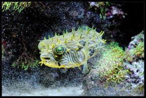 puffer01 by delobbo