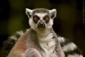 Lemur II by The-Other-Half-Of-Me