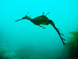 Weedy Seadragon by EugeneHuman