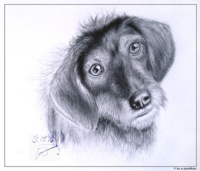 dachshund 05'06 by ThundersSilence
