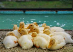 Cluster of ducklings by Nashimus