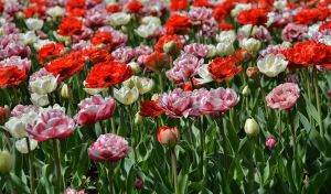 Tulips 2 by Placi1