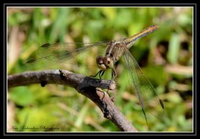 Brown Dragonfly by Purple-Dragonfly-Art