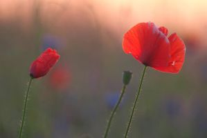 Poppies in the morning light III by mannromann