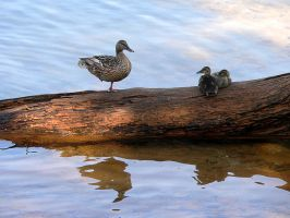 One Legged Duck with Ducklings by isha-1