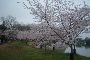Cherry Blossoms In D.C. by sesshyxrin-supporter