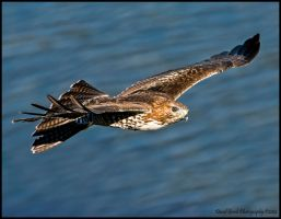 Sunday Morning Red-tail II by AirshowDave