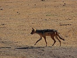 Black-Backed Jackal III by Track-Maidens