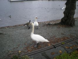Swans Stock 2 by Tokio-Hotel-Mad