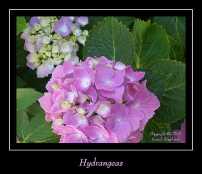 My Hydrangeas by DragonEyzs