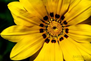 Yellow Flower by Barlogpl