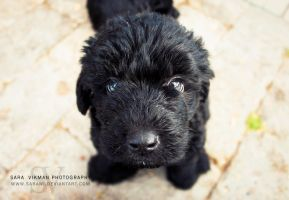 Labradoodle II by Sarawi