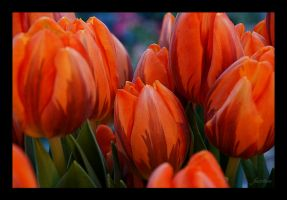 Orange Tulips by fuz1on