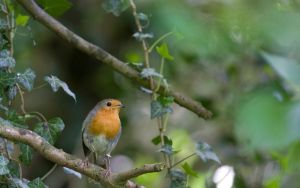 Robin in Ivy by The-Aperture