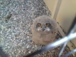 Baby owl by cgisby