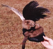 Winged Mink by Zhon