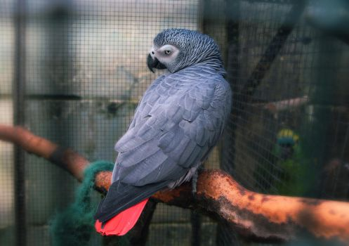 Beautiful Grey Parrot. by DTCT