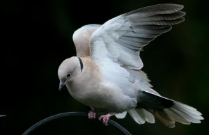 Collared Dove 2 by Tinap