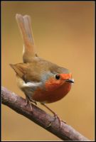 Mr Redbreast by nitsch