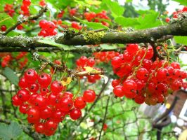 Red currant by santule