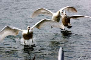 swans flying up the river. by LubelleCreativeSpark