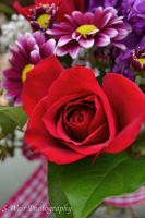 Red Rose by sweir17