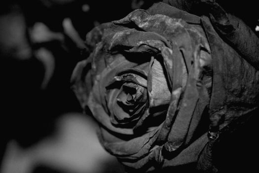 Roses are black. by tylorwestside